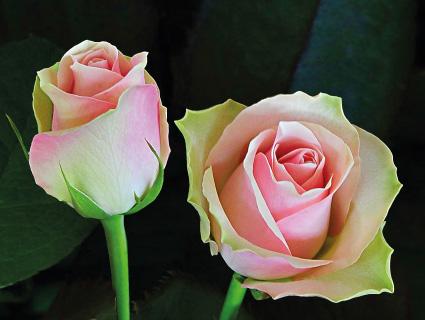 Labelle Premier Roses