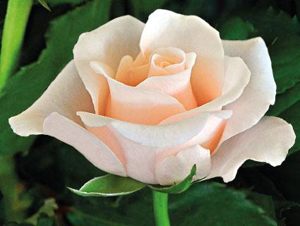 Meera Premier Roses