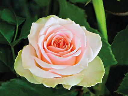 Bella Rose Premier Roses