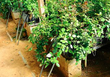 premier-roses-irrigation-system