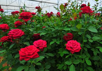 premier-roses-quality-certification