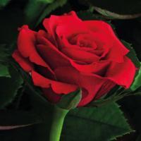 Red Calypso